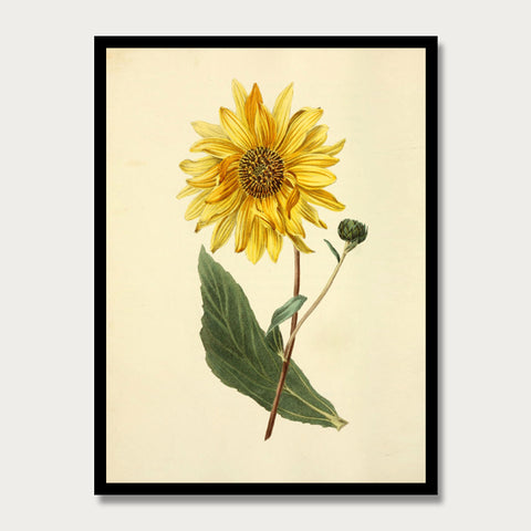 Yellow Sunflower Print, Botanical Print, Vintage Plant Art, Botanical Wall Art, F1017