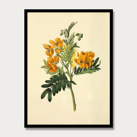 Yellow Cassia Print, Botanical Print, Vintage Plant Art, Botanical Wall Art, F1019