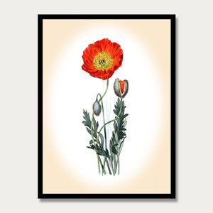 Red Poppy Print, Botanical Print, Vintage Plant Art, Botanical Wall Art, F1012