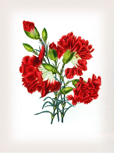 Carnation Botanical Print, Vintage Plant Art, Botanical Wall Art, F1002
