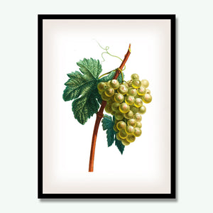 White Grape Botanical Print, Vintage Plant Art, Botanical Wall Art, F1033