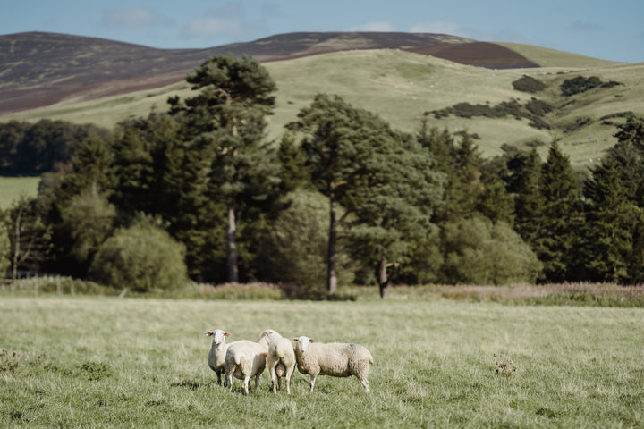 our-work: Lacaune sheep grazing on the farm in South Lanarkshire, at the foot of the Pentland Hills, where Corra Linn cheese is made