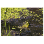 Frog in a Pond
