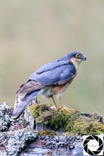 "Load image into Gallery viewer, ""Sparrowhawk"" -  Photographic Print"