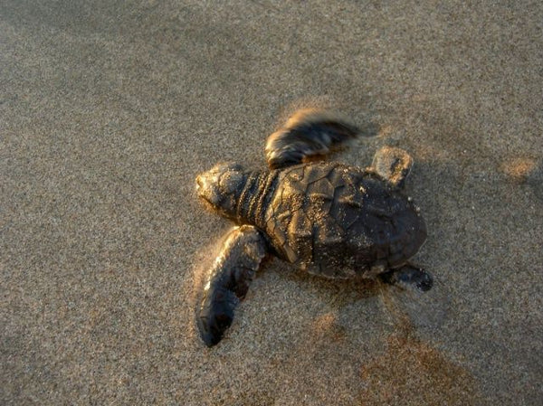 Best Places for Swimming with Turtles in Bali with your Bistro St. Tropez Mens Turtle Board Shorts