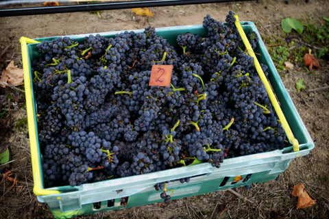 Delta Pinot Noir whole bunches