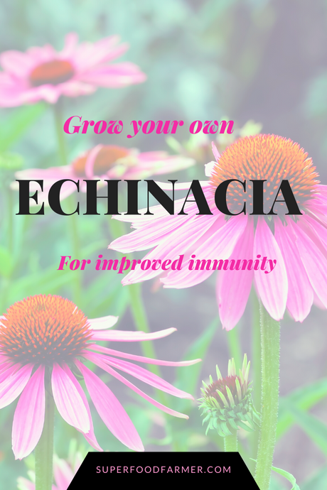 Echinacea for Improved Immunity against cold and flu virus