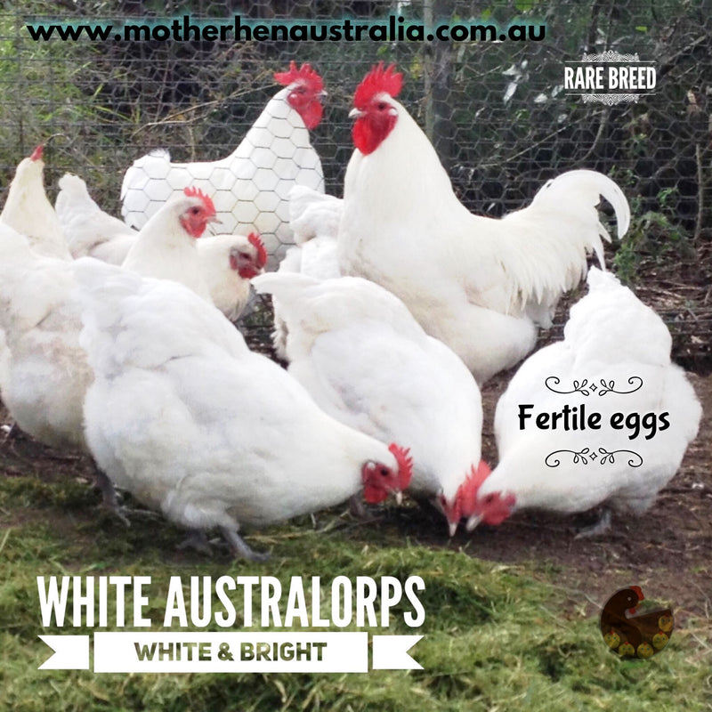 White Australorp Dozen Fertile Eggs