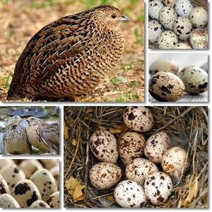 Quail Eggs Fertile - Three Dozen