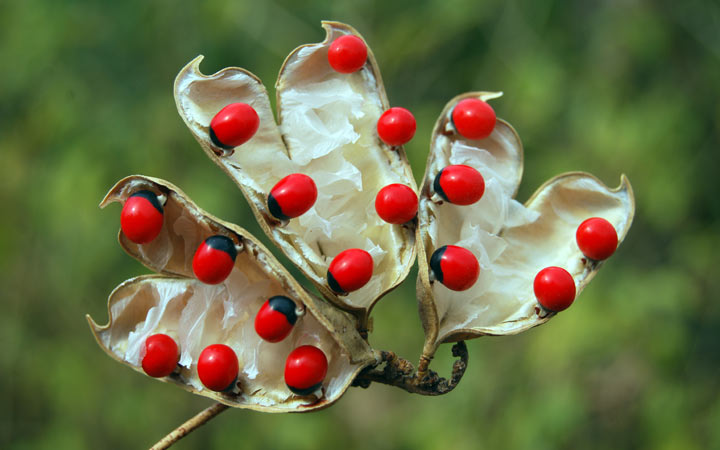 jequirity bean or rosary pea