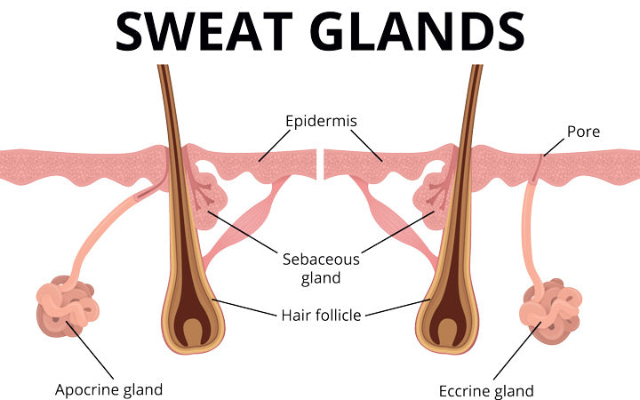 illustration of sweat and sebaceous gland