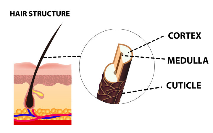 structure of human hair