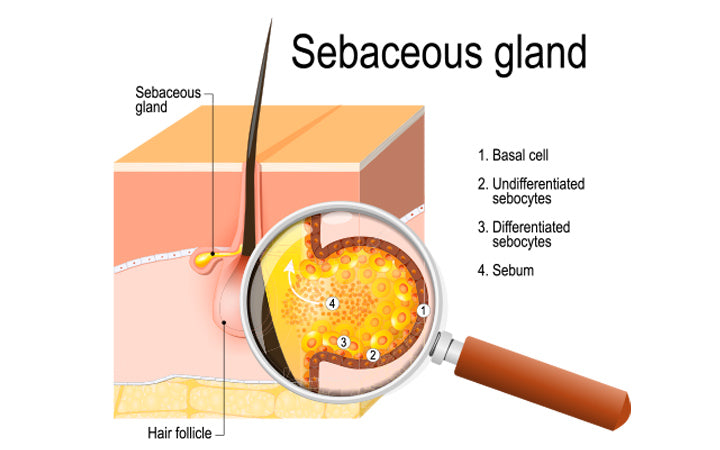 structure of the sebaceous gland