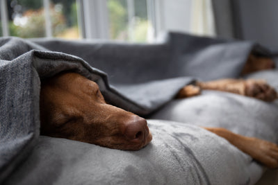 Vizsla fast a sleep in the luxury dog snuggle bed by collared creatures