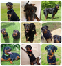 Interesting Facts You Should Know About Rottweiler