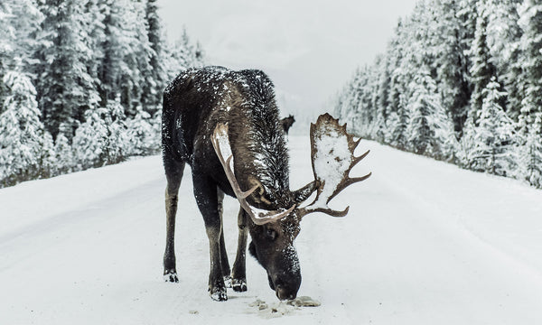 Moose are big. No two ways around it. Keep your distance and be careful if you run in to a moose while car camping.