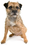 border terrier, small dog, brown dog