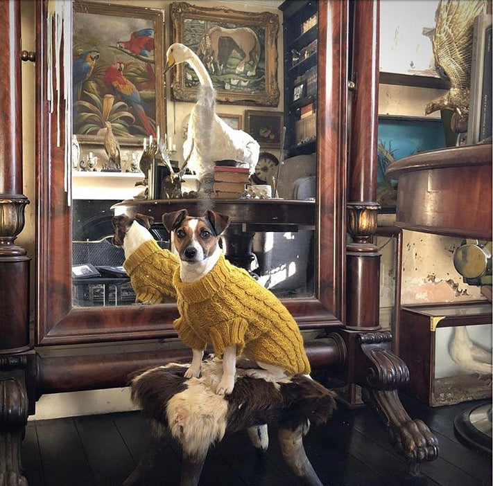 Jack russell in designer yellow cable dog jumper and dog sweater