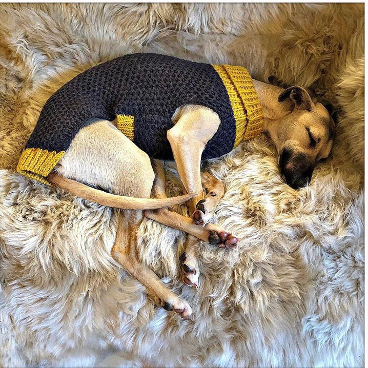 Italian greyhound in designer grey and yellow dog jumper and dog sweater
