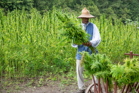 chinese hemp farmer harvesting his crops