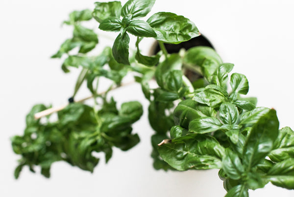 10 Health Benefits of Basil You Have to Know