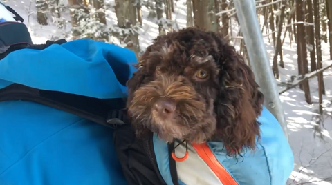 Bugsy sitting in Dave's backpack