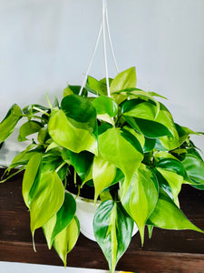 Philodendron Brasil