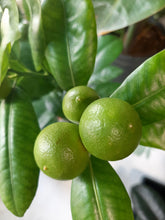 Load image into Gallery viewer, Calamondin miniature orange tree
