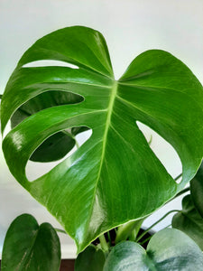 Monstera deliciosa (large sizes)