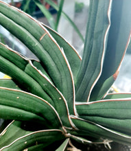 Load image into Gallery viewer, Sansevieria samurai