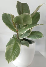 "Load image into Gallery viewer, 6"" ficus elastica ""Tineke"""