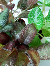Load image into Gallery viewer, Episcia