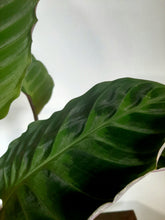"Load image into Gallery viewer, Calathea warscewiczii ""jungle velvet"""