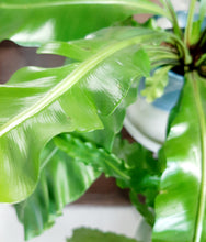Load image into Gallery viewer, Birdsnest fern
