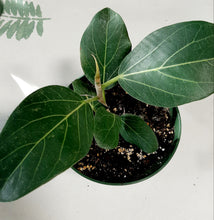 Load image into Gallery viewer, Ficus Audrey