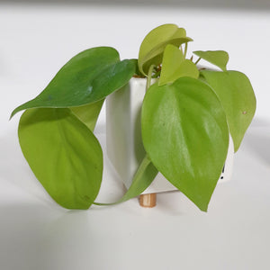 "Philodendron cordatum ""heartleaf"""