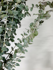 Eucalyptus bunches