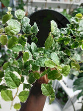 Load image into Gallery viewer, Ficus pumila /repens