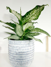 Load image into Gallery viewer, Dieffenbachia Assorted