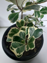 Load image into Gallery viewer, Ficus triangularis variegata