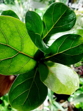 Load image into Gallery viewer, Ficus lyrata Compacta