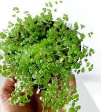 "Load image into Gallery viewer, Pilea glauca ""baby tears"""