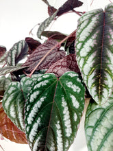 Load image into Gallery viewer, Rex Begonia (cissus discolour)