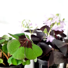 Load image into Gallery viewer, Shamrock (Oxalis triangularis) ☘️