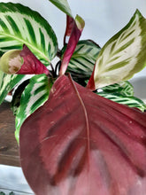 "Load image into Gallery viewer, Calathea roseopicta ""Cora"""