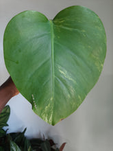 Load image into Gallery viewer, Monstera Aurea (yellow variegated)