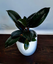 "Load image into Gallery viewer, Ficus elastica ""Burgundy"""