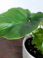 Load image into Gallery viewer, Philodendron Shangri-La