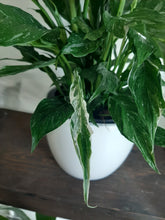 Load image into Gallery viewer, variegated peace lily