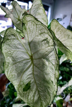 Load image into Gallery viewer, Caladium Florida Moonlight